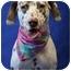 Photo 1 - Dalmatian Dog for adoption in Mandeville Canyon, California - Lila