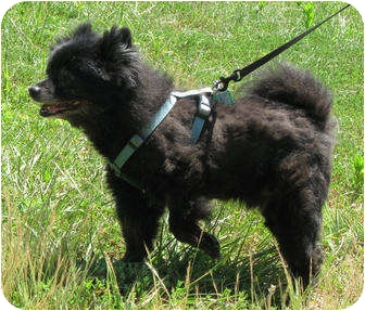 Pomeranian Dog for adoption in Chesterfield, Virginia - Sunny