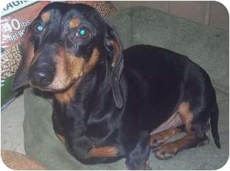 Dachshund Dog for adoption in Cumming, Georgia - Charlie2