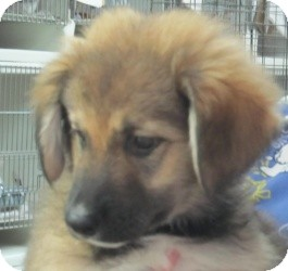 German Shepherd Dog/Golden Retriever Mix Puppy for adoption in Chicago, Illinois - Beauty*ADOPTED!*