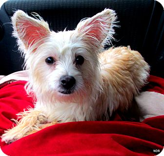 Westie, West Highland White Terrier/Poodle (Miniature) Mix Dog for adoption in Columbia Heights, Minnesota - Shelby