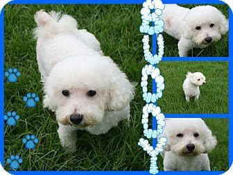 Bichon Frise Mix Dog for adoption in Tampa, Florida - Buddy