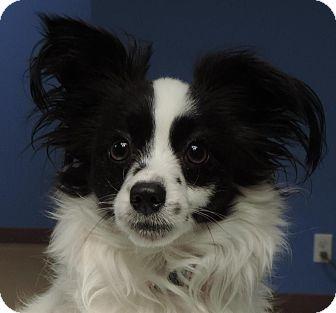 Papillon Mix Dog for adoption in Brookings, South Dakota - Juliette