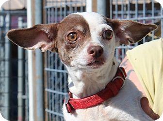 Chihuahua/Dachshund Mix Dog for adoption in Brattleboro, Vermont - Blossom