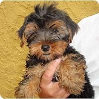 Adopt A Pet :: Jack Sparrow - Fairfax, VA