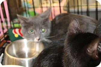 Domestic Shorthair Kitten for adoption in Rochester, Minnesota - Cinder