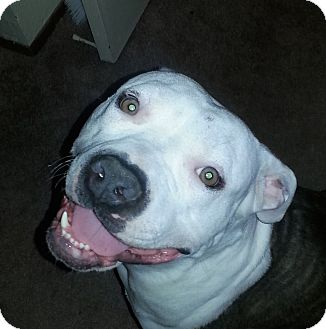 American Pit Bull Terrier/American Staffordshire Terrier Mix Dog for adoption in Sacramento, California - Princess