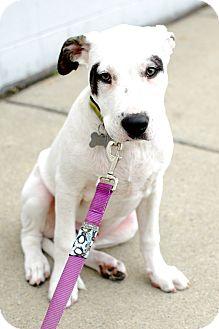 Labrador Retriever/Terrier (Unknown Type, Medium) Mix Puppy for adoption in Detroit, Michigan - Heath-Adopted!