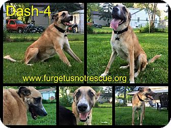 Anatolian Shepherd Mix Dog for adoption in Hazel Park, Michigan - Dasher aka Dash