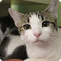 Adopt A Pet :: LL Cool Cat - Chicago, IL