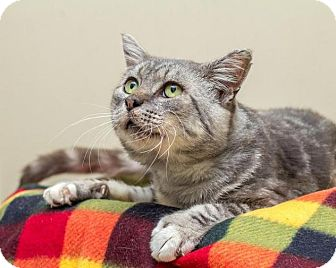 Domestic Shorthair Cat for adoption in Bellingham, Washington - Abbott