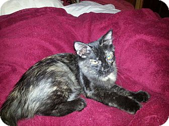 Domestic Mediumhair Kitten for adoption in Arlington/Ft Worth, Texas - Layla
