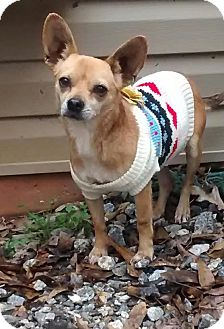 Chihuahua Mix Dog for adoption in Cleveland, Georgia - Star