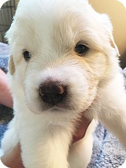 Great Pyrenees Mix Puppy for adoption in Kyle, Texas - Daffodil