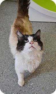 Siamese Cat for adoption in Michigan City, Indiana - Walter