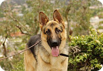 German Shepherd Dog Mix Dog for adoption in Laguna Niguel, California - Grant