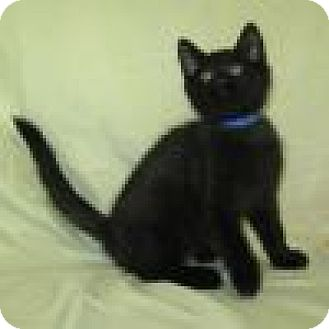 Domestic Shorthair Kitten for adoption in Powell, Ohio - Paxton