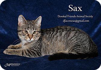 Domestic Shorthair Kitten for adoption in Ortonville, Michigan - Sax