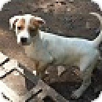 Labrador Retriever/Hound (Unknown Type) Mix Puppy for adoption in Wilminton, Delaware - Wynken