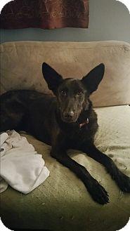 Labrador Retriever/German Shepherd Dog Mix Dog for adoption in Staunton, Virginia - Shadow