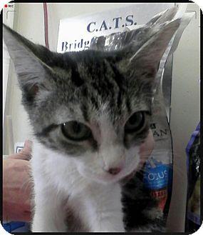Domestic Shorthair Kitten for adoption in Trevose, Pennsylvania - Minto