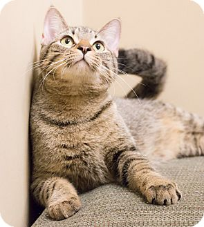 Domestic Shorthair Cat for adoption in Chicago, Illinois - Junior