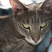 Domestic Shorthair Cat for adoption in LaGrange, Kentucky - Maggie