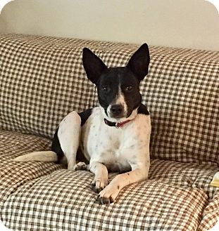 Collie/Terrier (Unknown Type, Medium) Mix Dog for adoption in Natchitoches, Louisiana - Maddie