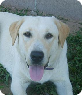 Labrador Retriever Dog for adoption in Cushing, Oklahoma - LULU adopted