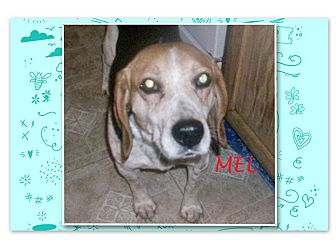 Beagle Dog for adoption in Ventnor City, New Jersey - MEL