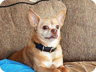 Chihuahua Dog for adoption in Minerva, Ohio - Gizmo