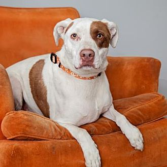 Pointer Mix Dog for adoption in Mission Hills, California - Spotty