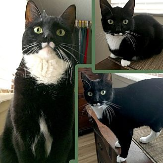Domestic Shorthair Cat for adoption in Saint Michael, Minnesota - Mittins