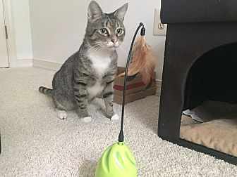Domestic Shorthair Cat for adoption in Baltimore, Maryland - Robert Goulet (COURTESY POST)