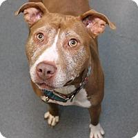 Adopt A Pet :: Marzipan - Richmond, VA
