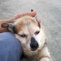 Adopt A Pet :: Pocket Man - Brooksville, FL