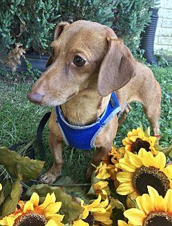 Dachshund/Chihuahua Mix Dog for adoption in Orangeburg, South Carolina - Oscar Mayer