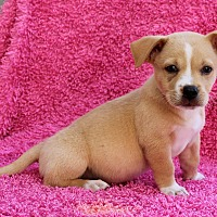 Adopt A Pet :: Charlie Cheese - Los Angeles, CA