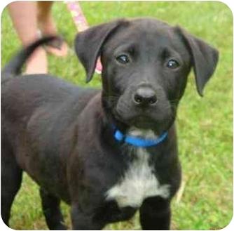 Labrador Retriever Mix Puppy for adoption in Inman, South Carolina - Skippy