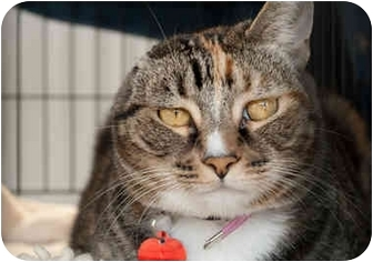 Domestic Shorthair Cat for adoption in Los Angeles, California - TERESA