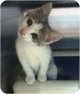 Domestic Shorthair Kitten for adoption in Union, New Jersey - Sassy