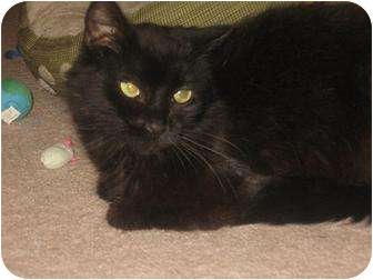 Domestic Mediumhair Cat for adoption in Hendersonville, Tennessee - Lacey