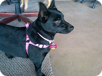Schipperke Mix Dog for adoption in Rio Rancho, New Mexico - Ally