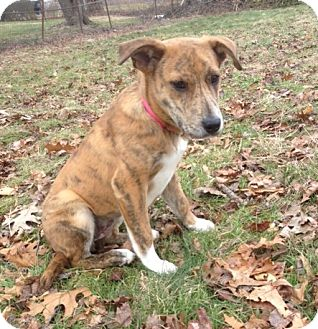 Mountain Cur Mix Puppy for adoption in Newtown, Connecticut - Jewel