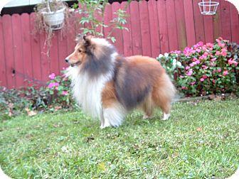 Sheltie, Shetland Sheepdog Dog for adoption in Alderson, West Virginia - Logan