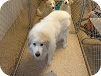 Great Pyrenees Dog for adoption in Lee, Massachusetts - Jax