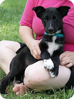Australian Cattle Dog/Labrador Retriever Mix Puppy for adoption in Starkville, Mississippi - Jordan