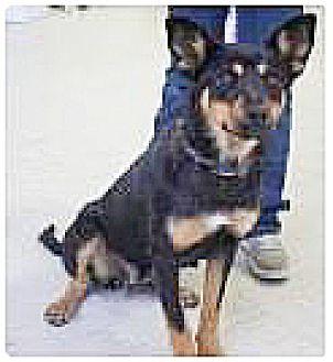 Shepherd (Unknown Type)/Collie Mix Dog for adoption in Spokane, Washington - Lachil