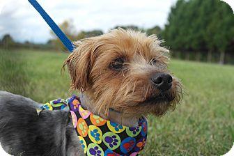 Yorkie, Yorkshire Terrier/Silky Terrier Mix Dog for adoption in Seneca, South Carolina - Cletus $175
