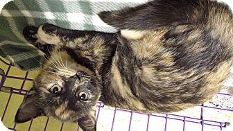 Domestic Shorthair Kitten for adoption in Richboro, Pennsylvania - Coco Chanel